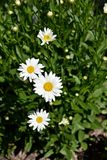 Daisys in the garden soaking up the summer sun. White Daisy`s in the garden in the summer sun Royalty Free Stock Photos