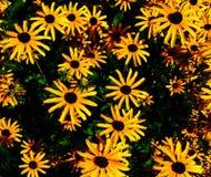 Daisys. Garden summer flowers wild Royalty Free Stock Photos