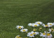 Daisys gräsmattabakgrund Arkivbild