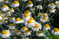 Daisys Royalty Free Stock Photography
