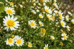 Daisys - Kreta Lizenzfreie Stockfotos