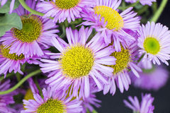 Daisys. Showing a group of purple daisys Royalty Free Stock Photos