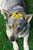 daisys som skjuter upp Arkivfoton