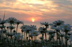 Daisys unter der untergehenden Sonne Lizenzfreie Stockfotografie