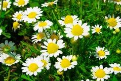 daisywheel zdjęcia stock