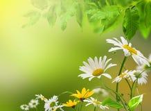 daisywheel kwiaty Obraz Royalty Free