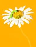 Daisywheel orange tone Stock Images