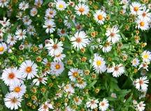 daisywheels белые Стоковая Фотография RF