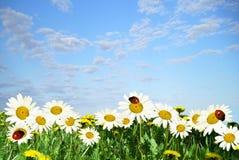 daisywheels obraz royalty free
