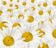 daisywheels obrazy royalty free