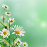 Daisywheels Stock Photo