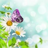 Daisywheels Royalty Free Stock Image