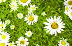 Daisywheels; Obrazy Royalty Free