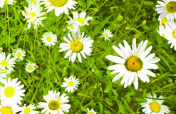 Daisywheels; Royalty Free Stock Images