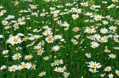 Daisywheels field Royalty Free Stock Images