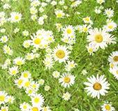 Daisywheels; Stock Images