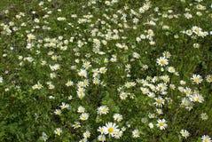 daisywheels margines Obraz Stock