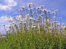 daisywheels pole Obrazy Royalty Free