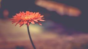 Daizy-Blume Stockfotos