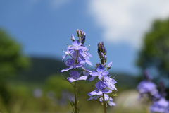 Dajti Mountain Wild flowers, Albania Royalty Free Stock Image