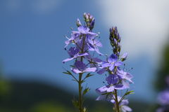 Dajti Mountain Wild flowers, Albania Stock Image