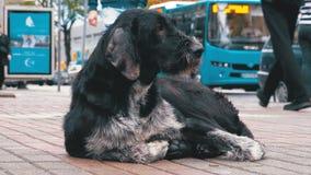 Dakloos Shaggy Dog ligt op een Stadsstraat tegen de Achtergrond van het Overgaan van Auto's en Mensen stock videobeelden