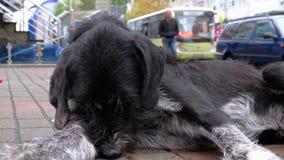 Dakloos Shaggy Dog ligt op een Stadsstraat tegen de Achtergrond van het Overgaan van Auto's en Mensen stock video