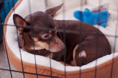 Dakloze Chihuahua Stock Afbeelding