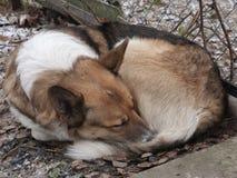 Dakloze droevige hondslaap op de straat Zachte nadruk Stock Afbeelding