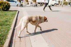 Dakloze hond het lopen straten stock afbeelding