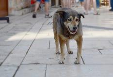 Dakloze hond met verschillende gekleurde ogen op een straat van Antalya, Turkije Één oog is blauw, is ander oog bruin stock foto