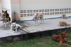 Dakloze honden Royalty-vrije Stock Foto's