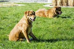 Dakloze honden die op een groen gras in het park leggen Stock Fotografie