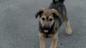 Dakloze jonge hond stock videobeelden