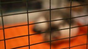 Dakloze kattenslaap die in ijzerkooi, huisdierenschuilplaats, droevig dier op goedkeuring wachten stock videobeelden