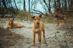 Dakloze wilde hond in oude radioactieve streek in Pripyat-stad - verlaten spookstad na kernramp tchernobyl stock foto