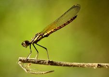 When Dakocan Dragonfly basking in the warmth of th. E sun Stock Photo