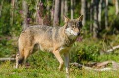 Dakocie badlands drewna na północ fotografujący wilk Obrazy Royalty Free