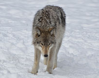 Dakocie badlands drewna na północ fotografujący wilk Obraz Royalty Free