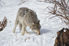 Dakocie badlands drewna na północ fotografujący wilk Fotografia Stock