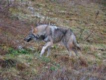 Dakocie badlands drewna na północ fotografujący wilk Obraz Stock