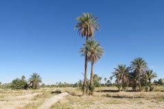 Daktylowa drzewko palmowe oaza Zdjęcia Royalty Free