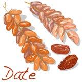 Daktylowa owoc sucha również zwrócić corel ilustracji wektora royalty ilustracja