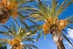 daktylowa palma Fotografia Royalty Free
