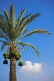 daktylowa palma Obrazy Royalty Free
