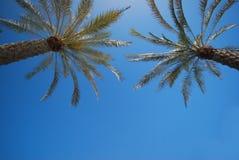 daktylowa palma Zdjęcia Stock