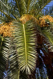 daktylowa palma Fotografia Stock