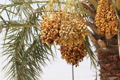Daktylowa palma wypełniał z wiązkami daty w DUBAJ ulicie, UAE na 26 2017 CZERWU Obrazy Stock