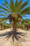 daktylowe palmy fotografia stock