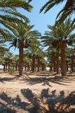 Daktylowe palmy obraz royalty free